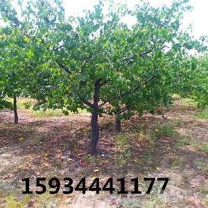 10公分杏樹++10公分杏樹