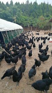 眉山乌皮土鸡养殖 绿壳蛋鸡苗批发 鸡苗需要做几次防疫