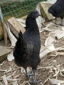 成都果园养殖林下养鸡跑山鸡养殖模式政府扶贫项目