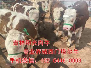 云南省西門塔爾牛養殖場