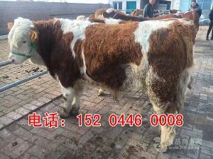 重庆西门塔尔养殖场