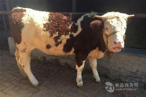 河南省西门塔尔小牛