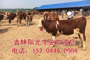 广东省300斤牛犊价格表