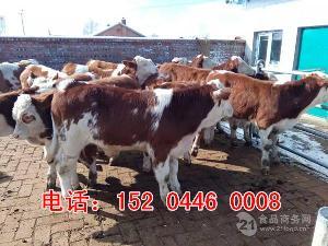 新疆西门塔尔牛犊*价格