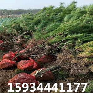 1.5米油松=1.5米油松多少錢一棵