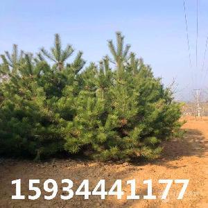 3.5米油松=3.5米油松多少錢一棵