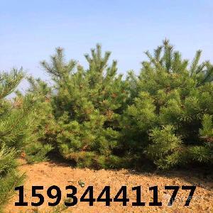 4米油松=4米油松多少錢一棵