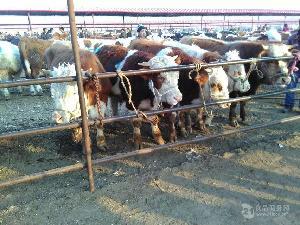 养20头牛国家补贴多少 100斤小牛犊多少钱一头