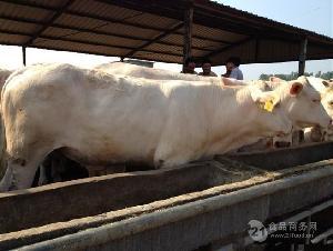 300斤左右肉牛犢價格肉牛犢