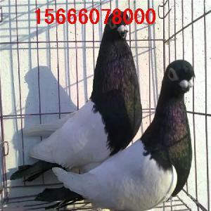浙江个人出售两头乌鸽子