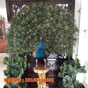 蓝孔雀哪里有卖的 孔雀标本的价格