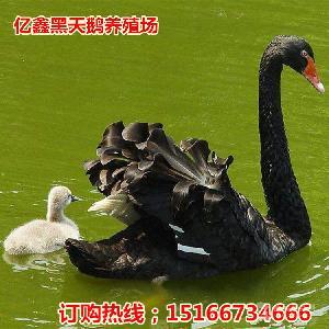 黑天鹅一对什么价格哪里有养殖的