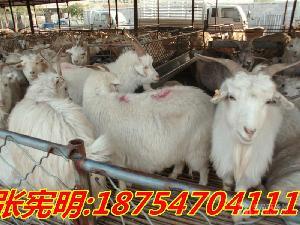 一只羊 肉羊價格