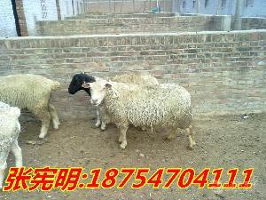 杜寒杂交羊价格 夏洛莱羊多少钱一只
