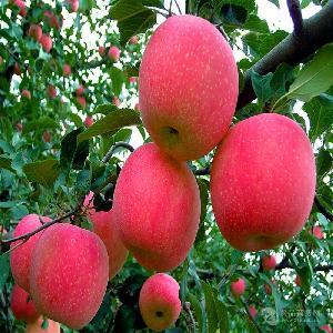 【 山东红富士苹果 】信息 /价格 年后苹果价格优惠多少