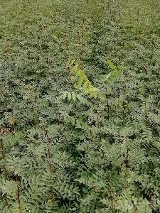 大红袍花椒苗基地直供0.5-1公分优质花椒苗 规格齐全