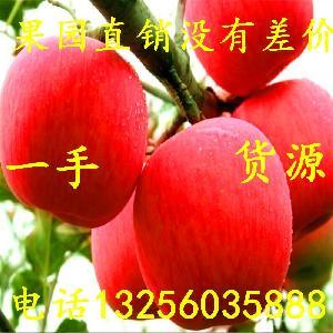 山东精品红富士苹果价格信息 红富士苹果价格 苹果种植基地