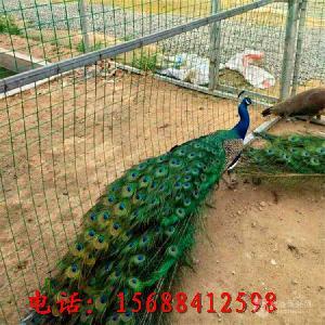 一只孔雀標本擺件多少錢出售孔雀標本