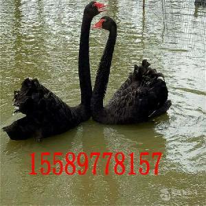 成年黑天鹅的价格黑天鹅养殖