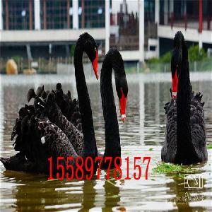 小黑天鹅什么地方有卖的黑天鹅养殖技术