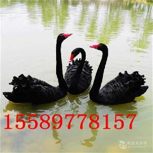 养殖黑天鹅什么地方有卖黑天鹅的