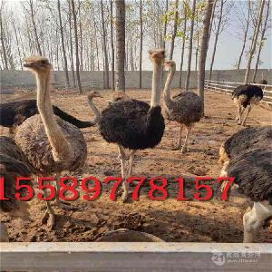 哪里有卖鸵鸟苗的批发出售多少钱一只