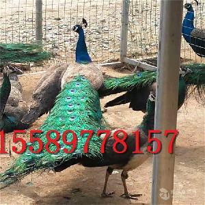 什么地方有卖孔雀的孔雀养殖技术