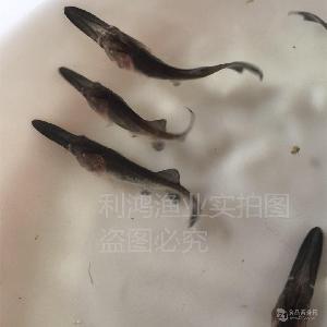 【特种水产】优质鸭嘴鱼苗 美国匙吻鲟 鸭嘴鲟鱼苗批发 淡水养殖