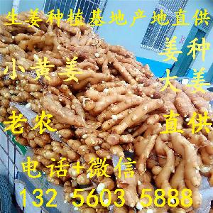 山東大姜產地 山東大姜價格  生姜種批發地