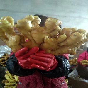 山東生姜種子 姜種   大姜 銷售 批發 產地