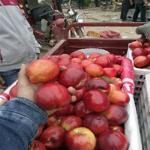 油桃供应价格 油桃批发基地 山东油桃那天上市