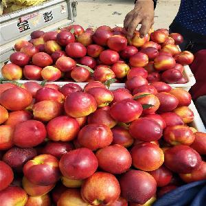 126油桃哪的价格低 山东油桃种植基地