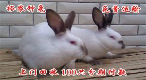 一只新西兰兔种兔价格
