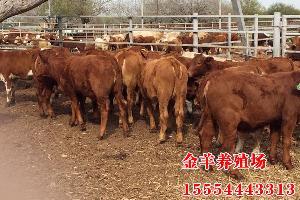 山东黄牛价格、山东肉牛价格