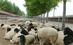 杜泊羊种羊价格、纯种杜泊羊多少钱