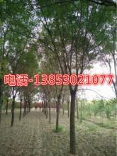 70公分皂角树价格江苏报价