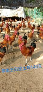 乐山土鸡苗价格多少包教养殖技术包运输