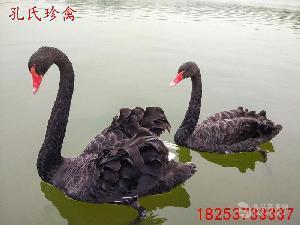 哪里有卖黑天鹅的