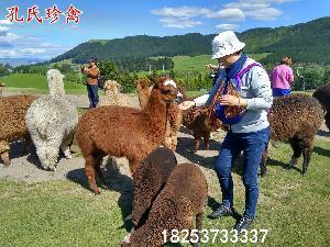 江苏有出售羊驼的吗