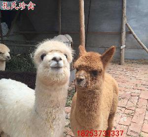羊驼批发养殖基地