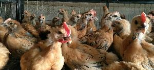 遵义哪里有正规鸡苗孵化公司 纯种土鸡苗批发