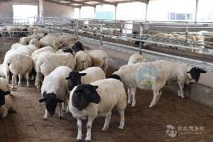 夏洛莱羊种羊价格 美国白山羊多少钱一只