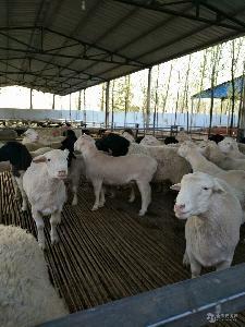 夏洛莱羊种羊价格 五个月的杜柏羊多少钱
