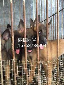 德国牧羊犬价格哪里卖