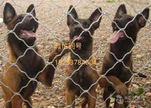纯种马犬幼犬价格 2019马犬*报价