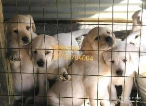 山东拉布拉多幼犬 价格