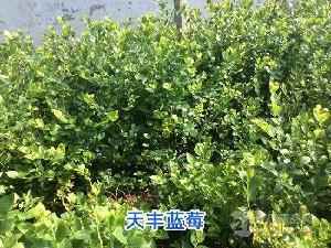蓝莓苗,蓝莓苗价格