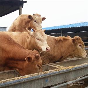 什么地方出售肉牛犊