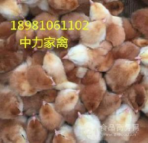青脚乌皮土鸡苗 贵州哪里有鸡苗批发市场