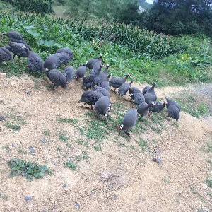 兰州哪里有鸡苗批发市场 青脚纯种土鸡苗养殖